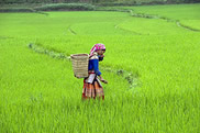 Vietnam produces 36 million tons of rice a year making it fifth largest producer in the world